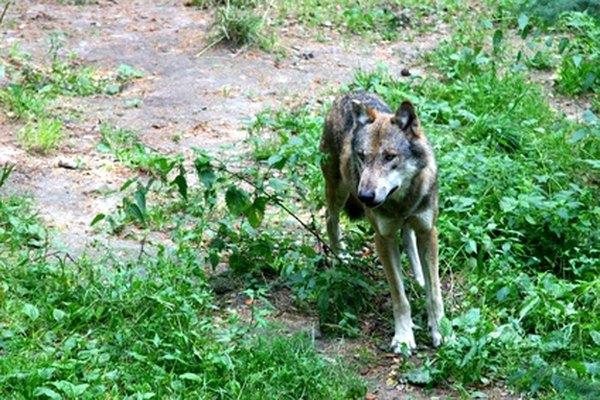 Un lobo es un ejemplo de consumidor secundario.