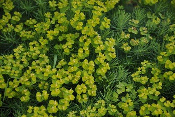 Las plantas verdes son la base de la cadena alimenticia de un ecosistema.