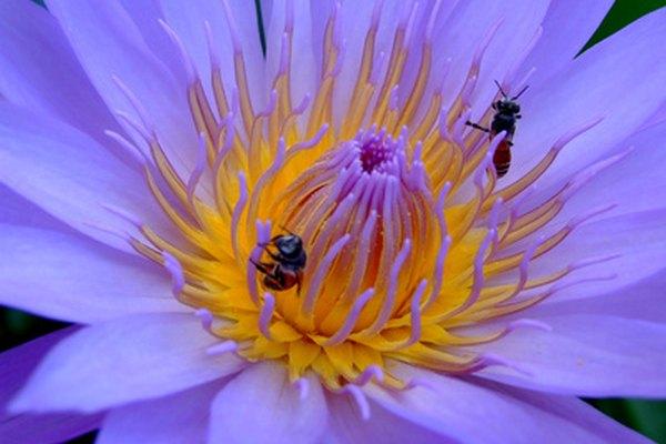 Las abejas del desierto se alimentan del néctar de las plantas.