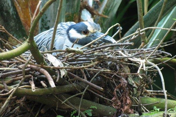 Una garza amarilla-coronada en el nido.