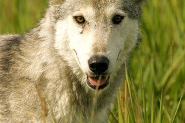 Los ojos de un lobo se encuentran en la parte frontal para ver mejor a sus presas.