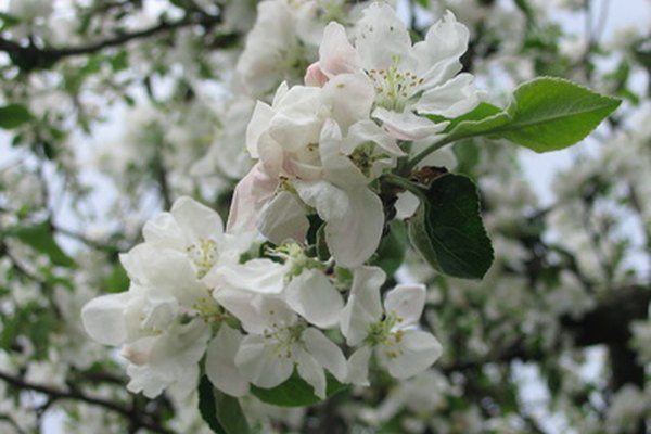 Flores de la primavera cubren las ramas del manzano.