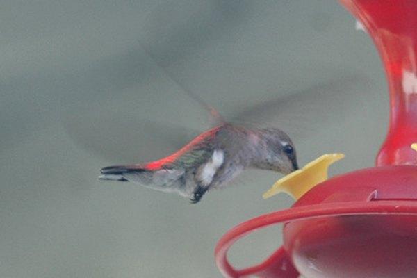 Los colibrís abeja son sólo una de las 300 especies de colibrís.