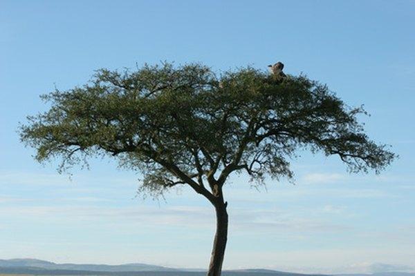Parte de la familia Mimosacea, la Acacia es un género grande que se encuentra en la sabana africana.