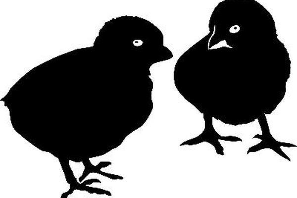 Las Black Australorps son aves resistentes que soportan bien los climas adversos.