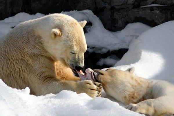 Los osos polares están a punto de convertirse en una especie en peligro de extinción.