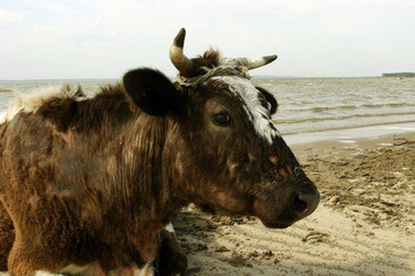 Los cuernos de vaca han sido utilizados por siglos.