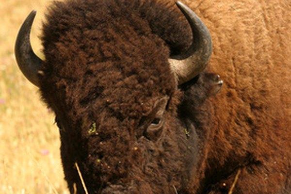 Los bisones fueron tema de debate en relación a si eran kosher.