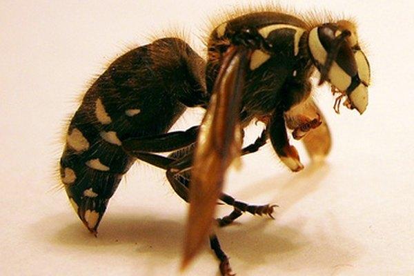 El aguijón de la abeja melífera es una adaptación de protección.