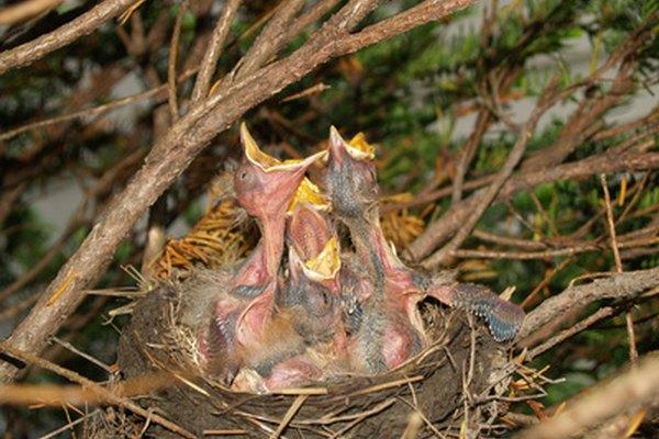 Polluelo altricial joven desamparado y sin plumas en gran parte.