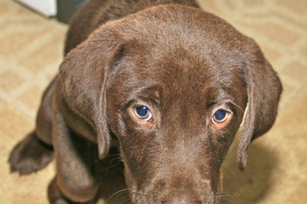 Satisface tu curiosidad acerca de si tu perro es un labrador de raza pura o no.