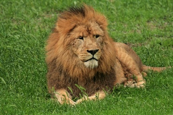 Aprende a pintar un león de aspecto realista con los suministros básicos de arte.