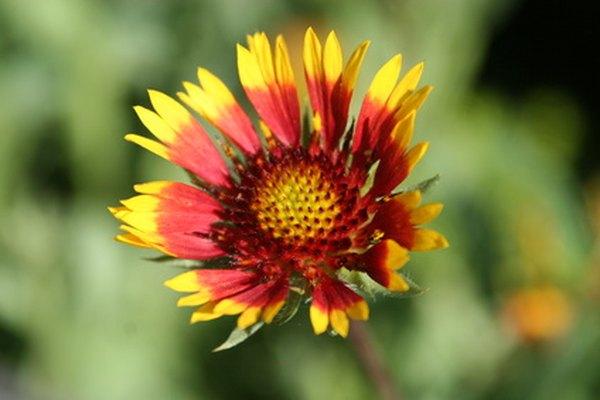 El manto de flores crece en tonos rojos y amarillos.