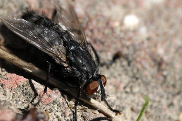 Los cebos caseros para moscas son tan efectivos como los comprados en las tiendas.