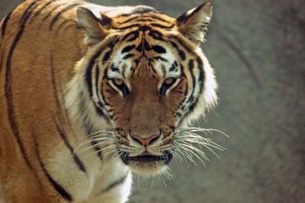Los tigres suelen comer en la sombra cerca del agua.