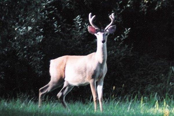 La caza de ciervos exige una gestión de sonido y de olor.