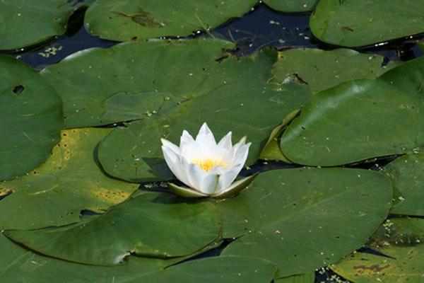 La flor de lirio acuática blanca se abre solamente una parte del día.