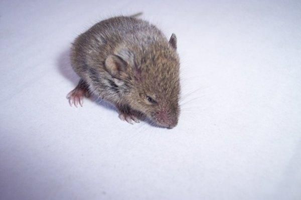Los ratones típicamente comen plantas, pero son empujados por la inanición a comer casi de todo.