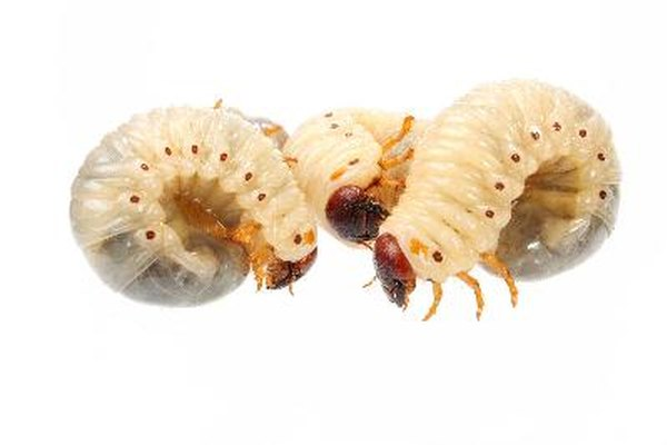 Ciclo de vida de los gusanos.