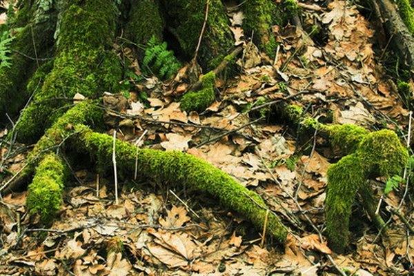Las plantas no vasculares tales como el musgo, absorben el agua por ósmosis.