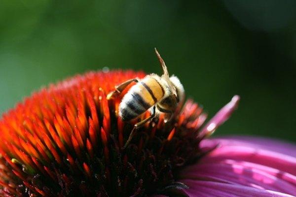 Las abejas melíferas tienen varias adaptaciones que mantienen con vida a su especie.