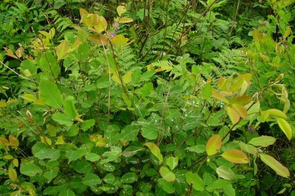 La clorofila es parte del proceso de fotosíntesis.