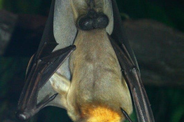 Los murciélagos vampiro tienen afilados colmillos y beben sangre, tal como los vampiros tradicionales.