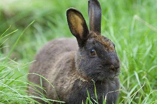 Consigue que tu conejo se acostumbre al arnés y la correa poniéndosela durante unos minutos cada día.
