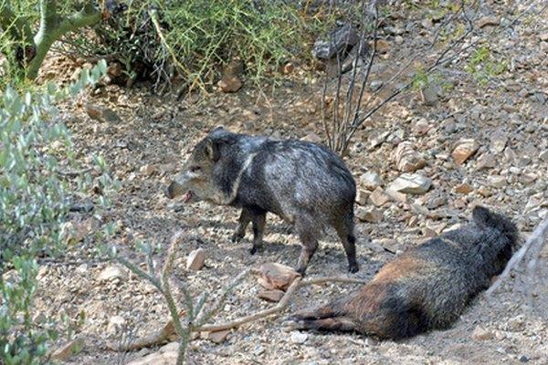 What Desert Animals Are Heterotrophs Animals Mom