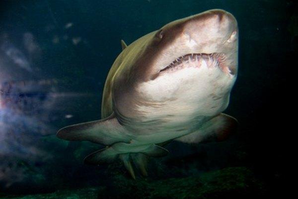 Algunos tiburones pueden vivir hasta un siglo.