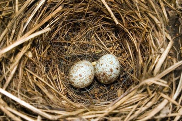 Un simple experimento de clase puede demostrar los efectos del petróleo en los huevos de las aves.