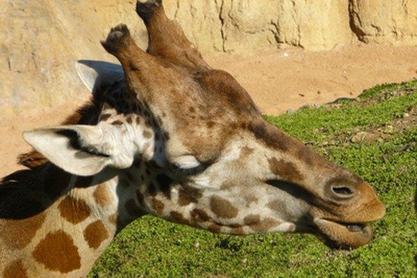Las jirafas están bien equipadas para combatir el peligro.