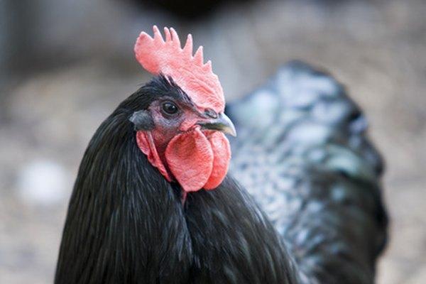Esta raza tiene la reputación de ser la mejor ponedora de huevos marrones.
