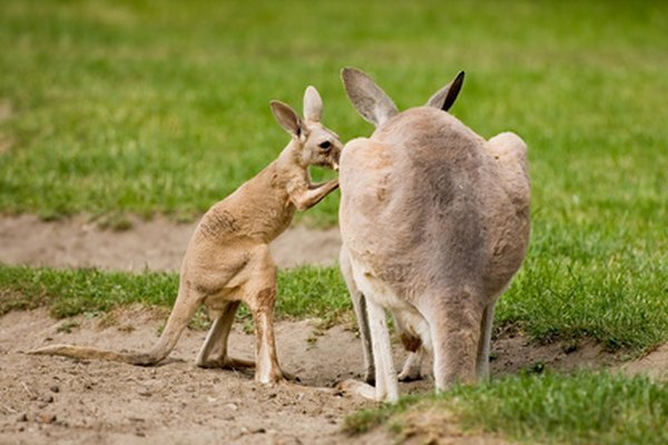 Red And Gray Kangaroos