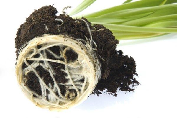 Sistema de raíces de una planta.