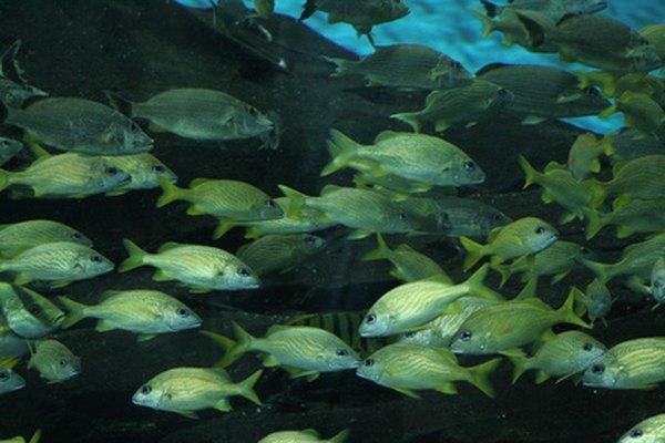 Hay más especies de peces que cualquier otra especie animal.