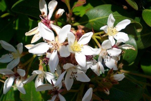 Las flores blancas pueden ser transformadas para tener colores vibrantes e inusuales con pintura floran en aerosol.