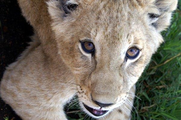 Los cachorros de leon nacen ciegos y desprotegidos.