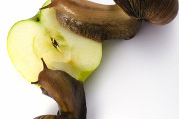 Dos caracoles abandonan sus caparazones para comer una manzana, parte de su dieta natural.
