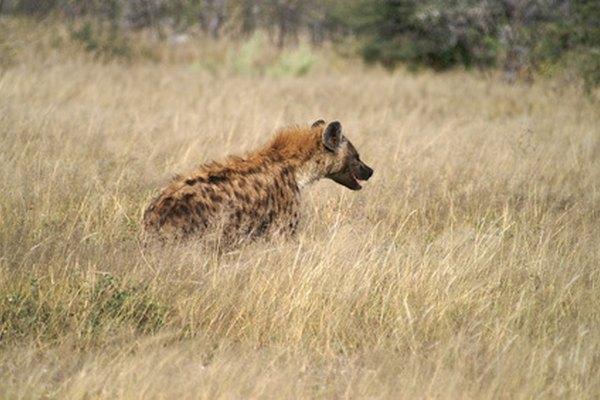 La hiena es un enemigo natural del perro salvaje de África.
