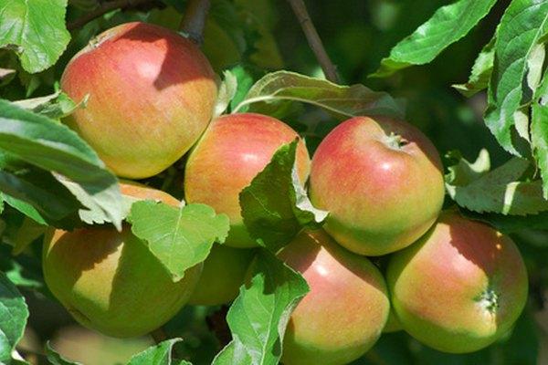 Manzanas maduras cuelgan de una rama.