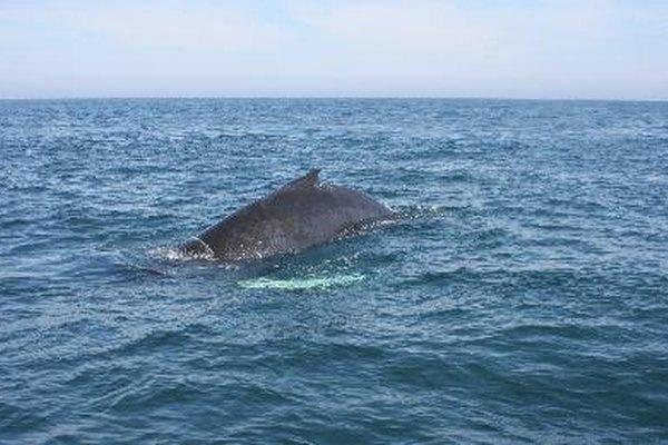 Las ballenas se mueven en grupos, parejas o solas.