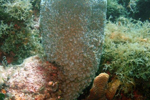 Las esponjas de mar respiran por la difusión a través de cada membrana celular.