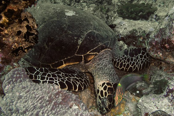 La tortuga es un animal solitario.