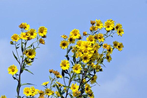 Las flores silvestres se pueden identificar mediante el uso de una clave taxonómica.