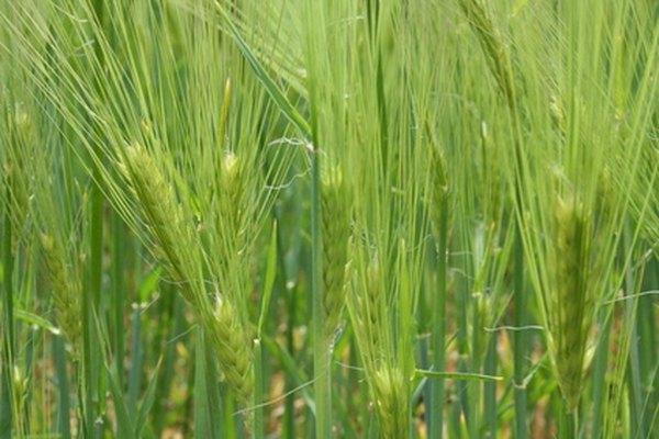 Un cultivo de trigo