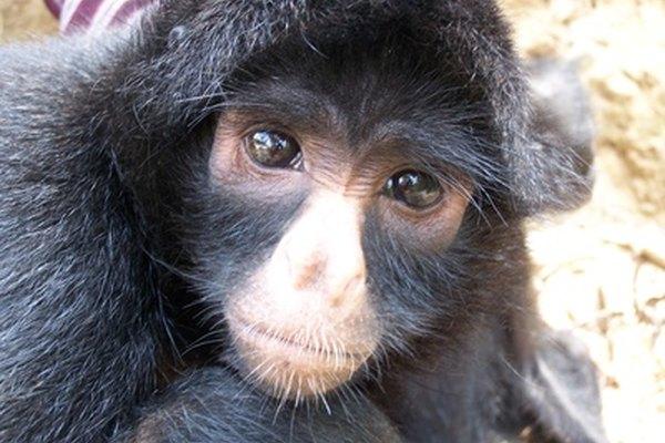 Los monos del Viejo Mundo comparten características nasales con los seres humanos, teniendo fosas nasales juntas y mirando hacia abajo.