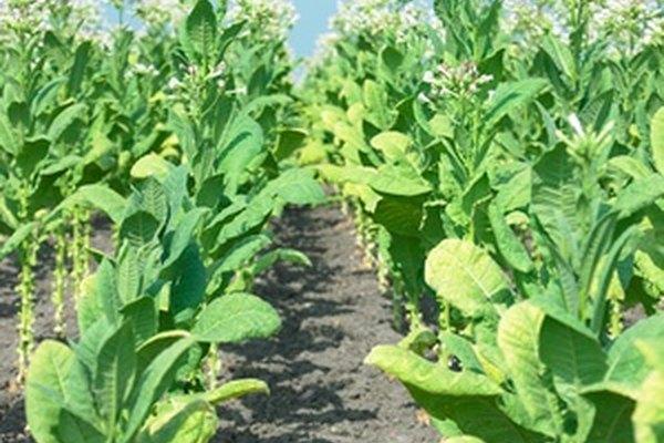 Las plantas de tabaco pasan por varias etapas de crecimiento.