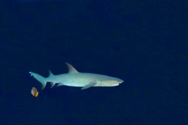 La mayoría de los tiburones migran cada año.
