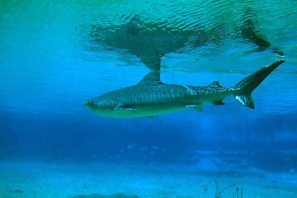 Las diferentes especies de tiburones tienen divrsos hábitos de apareamiento.